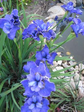Iris siberica and wildlife pond.