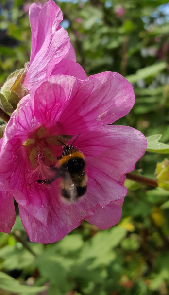 bee in lavatera 2